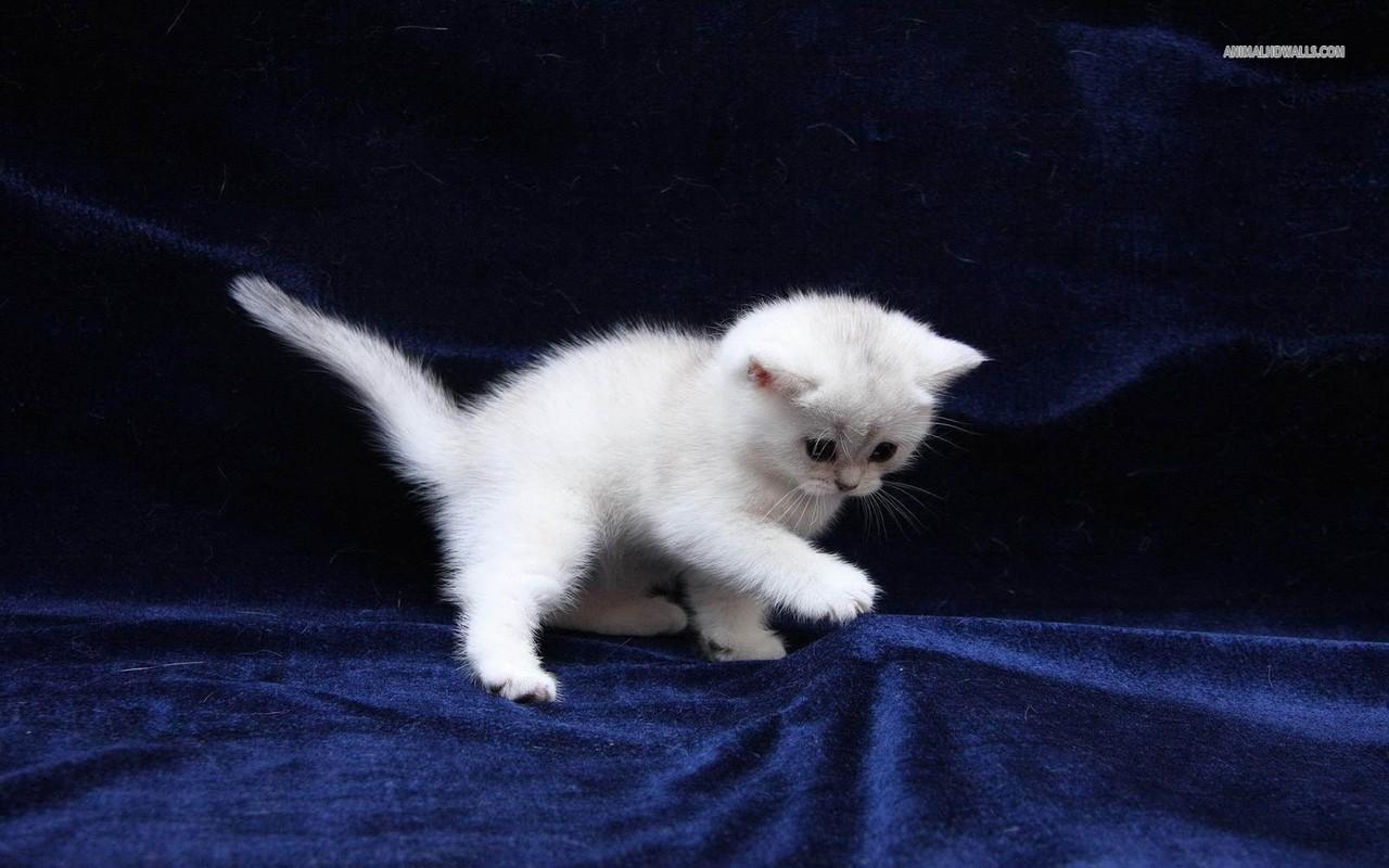 ایدز در گربه ها